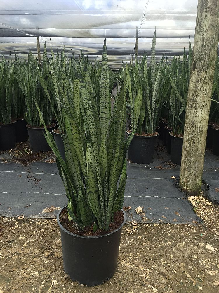 sansevieria-zeylanica-snake-plant-mother-in-law-s-tongue-bowstring-hemp-viper-s-bowstring-hemp