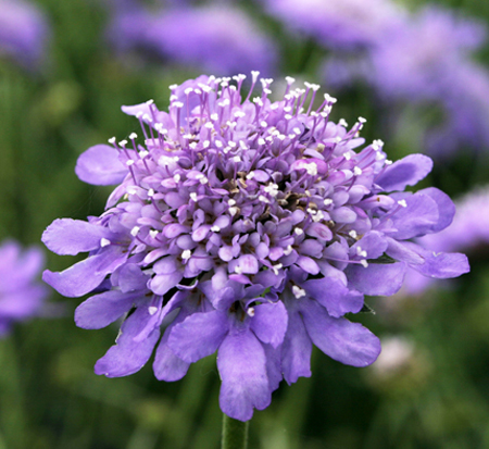 scabiosa-columbaria-butterfly-blue-pincushion-flower