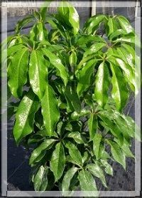 schefflera-actinophylla-amate-umbrella-tree