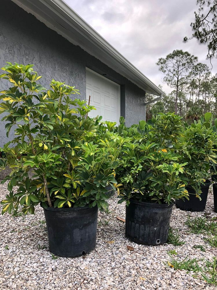 schefflera-arboricola-gold-capella-umbrella-tree