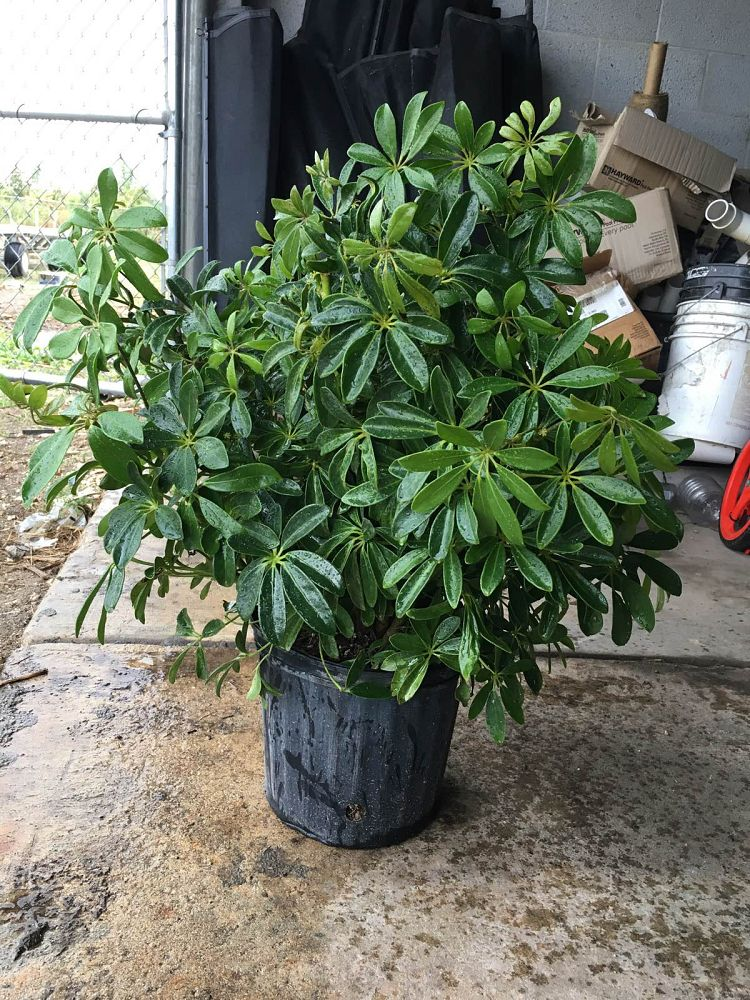 schefflera-arboricola-green-umbrella-tree