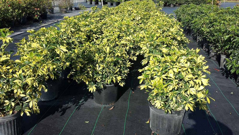 Pioneer Farms Wholesale Trees Amp Plants Plantant Com