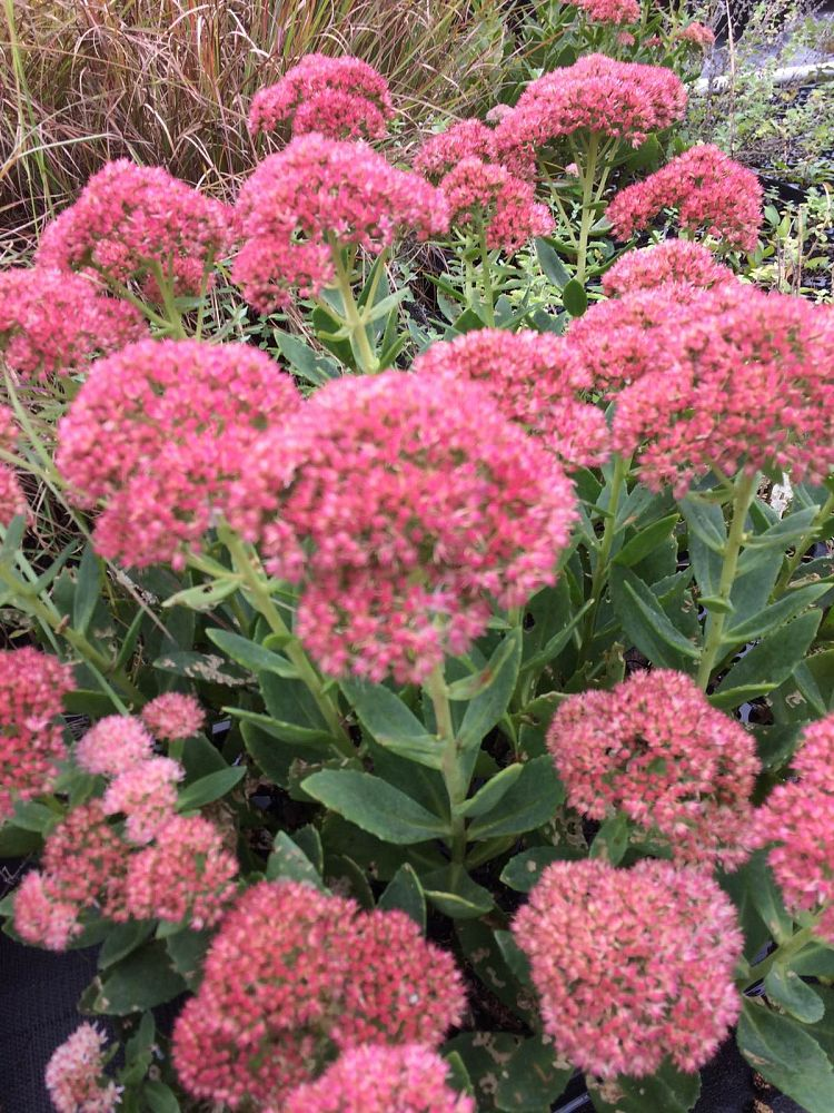 sedum-autumn-fire-stonecrop