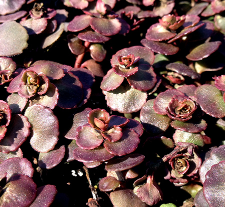 sedum-spurium-fulda-glow-two-row-stonecrop