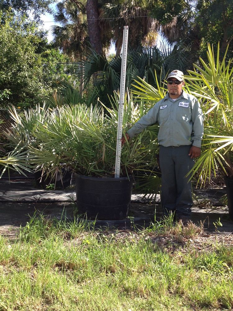 serenoa-repens-cinerea-silver-saw-palmetto