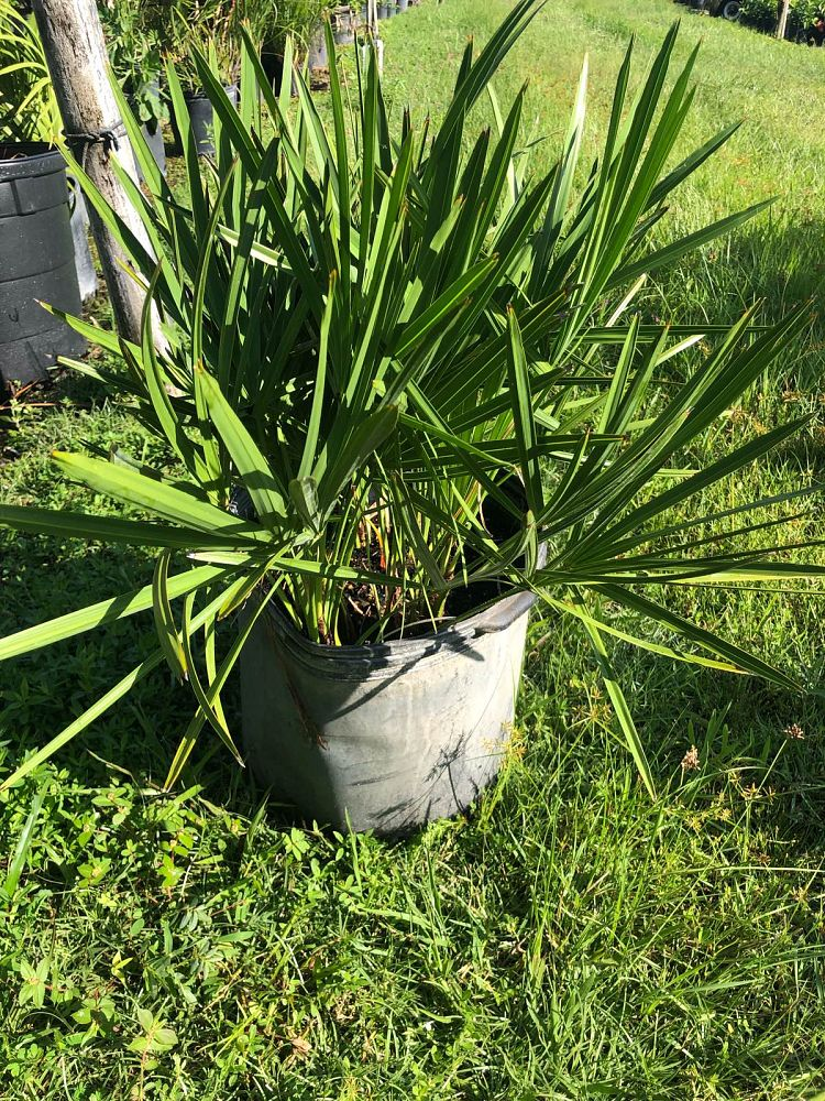 serenoa-repens-saw-palmetto