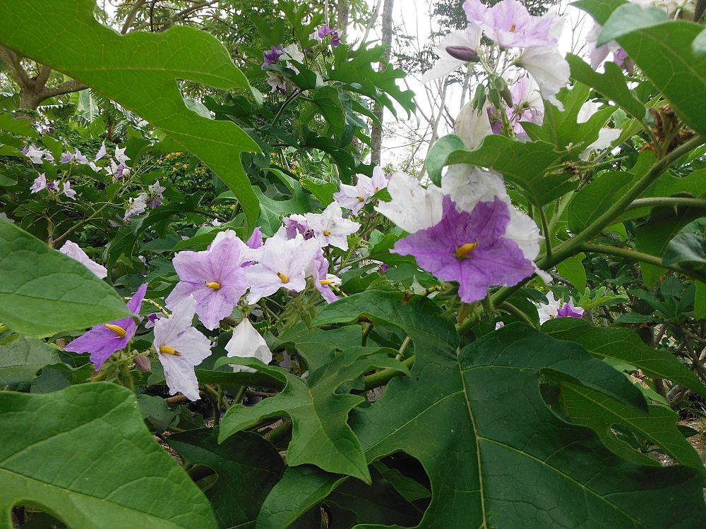 solanum-wrightii-solanum-macranthum-blue-potato-tree