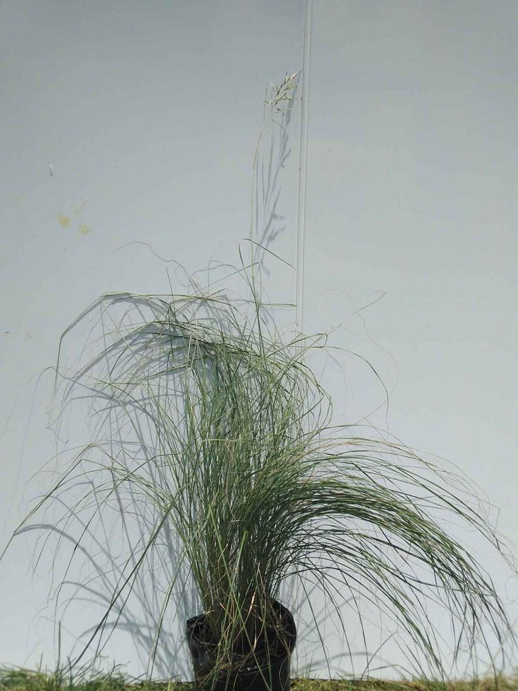 sorghastrum-avenaceum-indian-grass