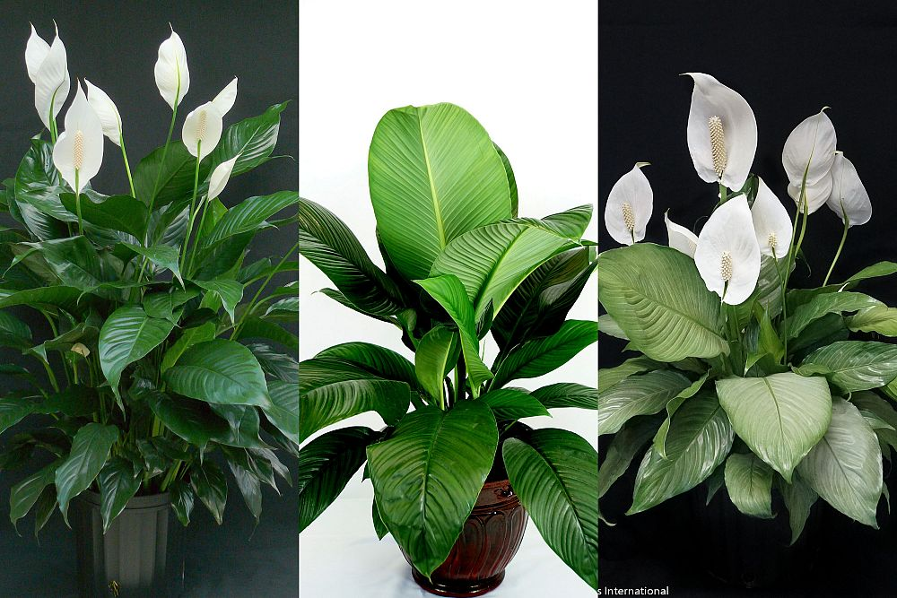 spathiphyllum-peace-lily