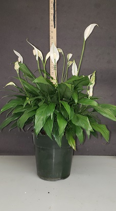 spathiphyllum-petite-spath-peace-lily