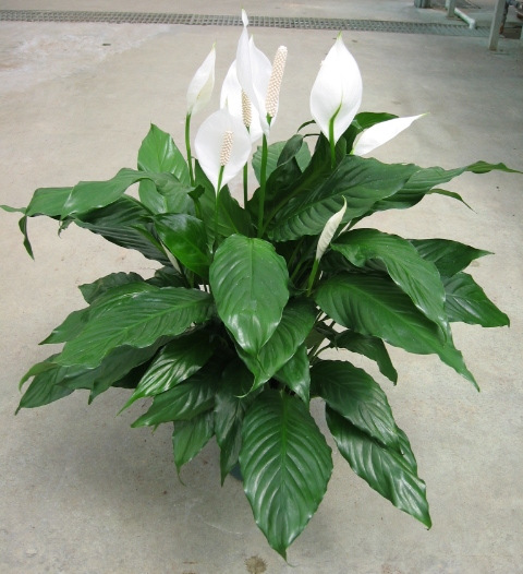 spathiphyllum-power-petite-peace-lily