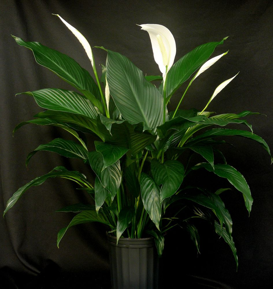 spathiphyllum-sweet-dario-peace-lily