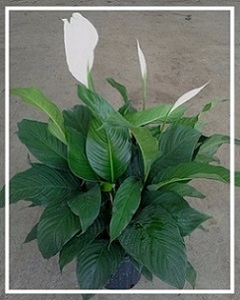 spathiphyllum-sweet-pablo-peace-lily