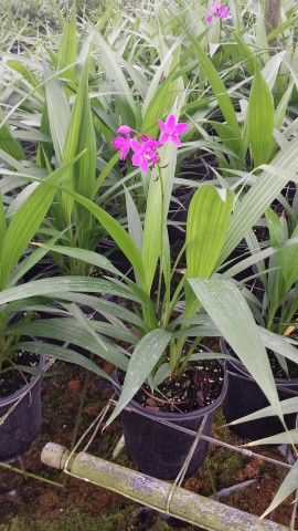 spathoglottis-sorbet-grape-passion-ground-orchid
