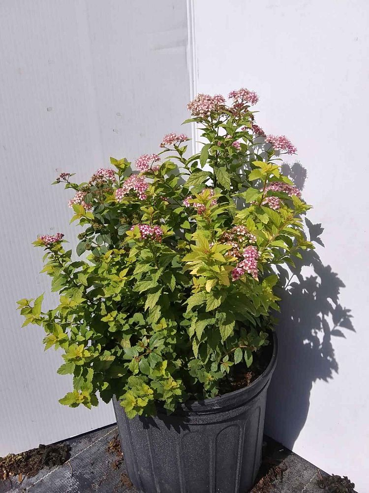 spiraea-japonica-little-princess-japanese-spirea