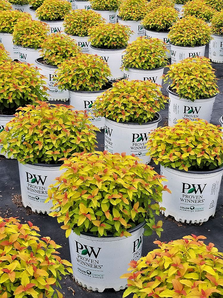 spiraea-japonica-ncsx1-japanese-spiraea-double-play-candy-corn