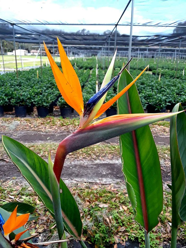 strelitzia-reginae-bird-of-paradise-orange-crane-flower