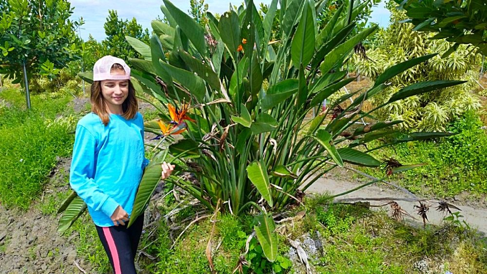 strelitzia-reginae-bird-of-paradise-orange