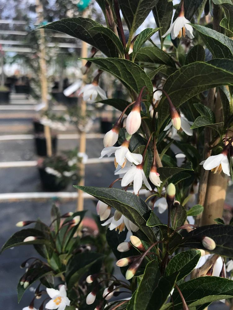 styrax-japonicus-evening-light-japanese-snowbell