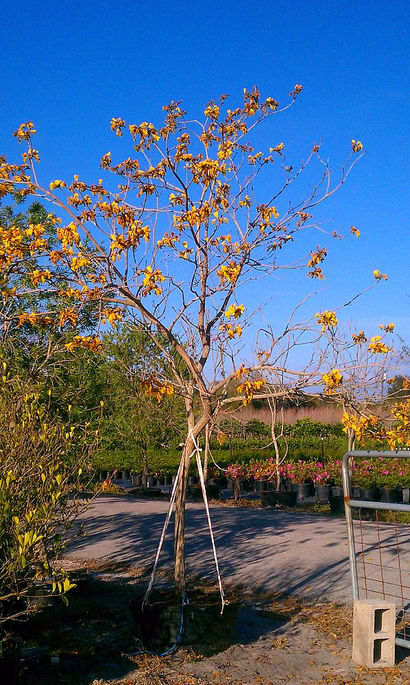 tabebuia-chrysotricha-gold-trumpet-tree
