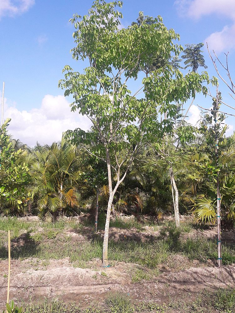 tabebuia-impetiginosa-purple-trumpet-tree