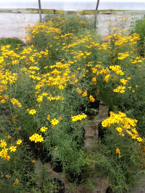 tagetes-lemmonii-mexican-marigold-copper-canyon-daisy