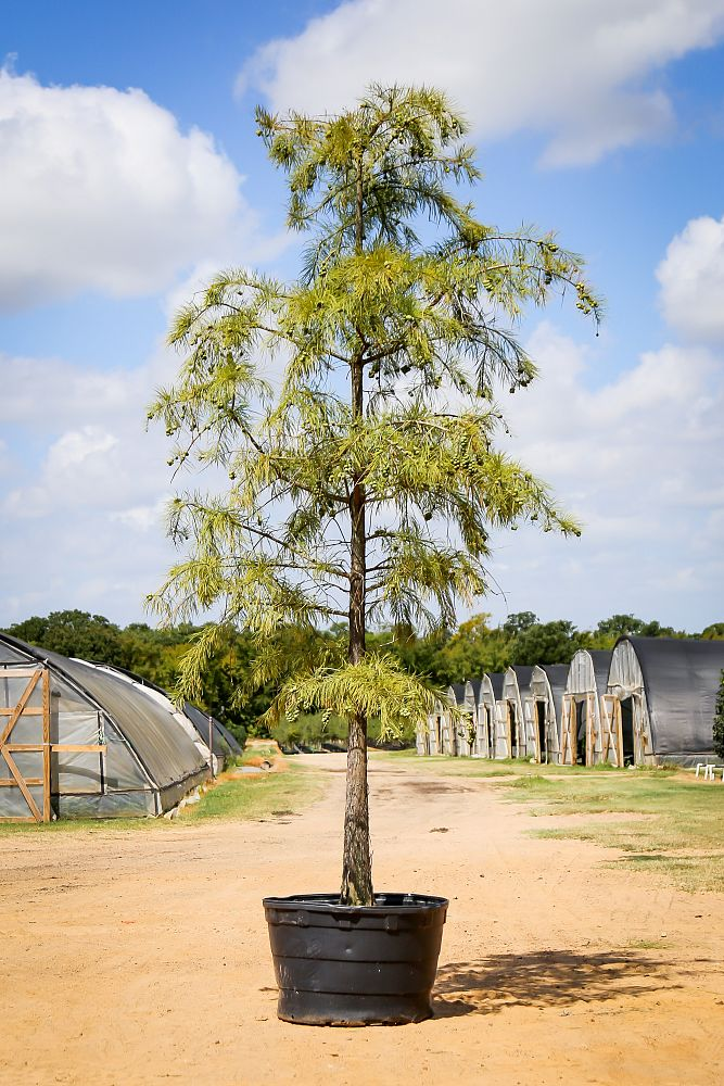 taxodium-ascendens-pond-cypress