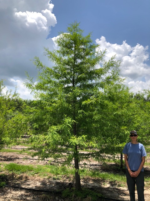 taxodium-distichum-bald-cypress