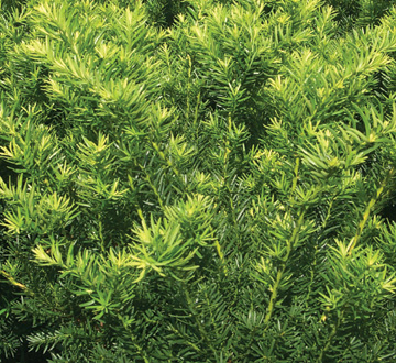 taxus-x-media-densiformis-intermediate-yew