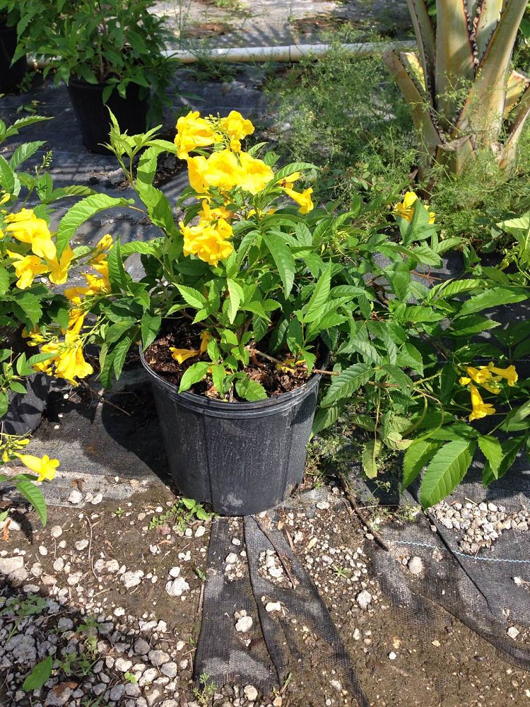 tecoma-stans-yellow-elder-esperanza-trumpetflower-bells-of-fire