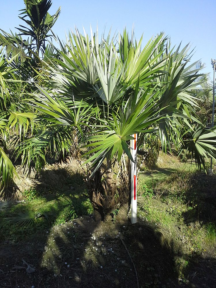 thrinax-morrisii-key-thatch-palm
