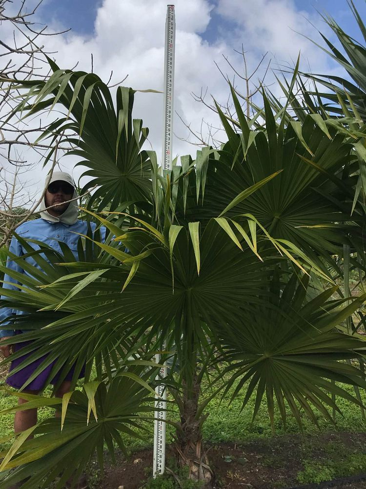 thrinax-radiata-florida-thatch-palm