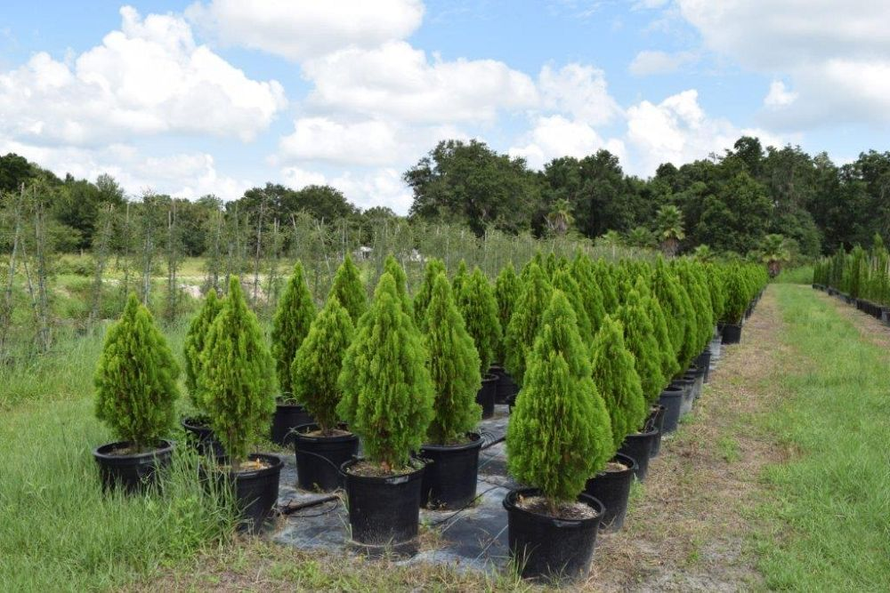 thuja-occidentalis-berckman-s-golden-biota-arborvitae-false-white-cedar