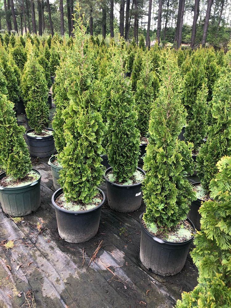 thuja-occidentalis-degroot-s-spire-arborvitae-false-white-cedar
