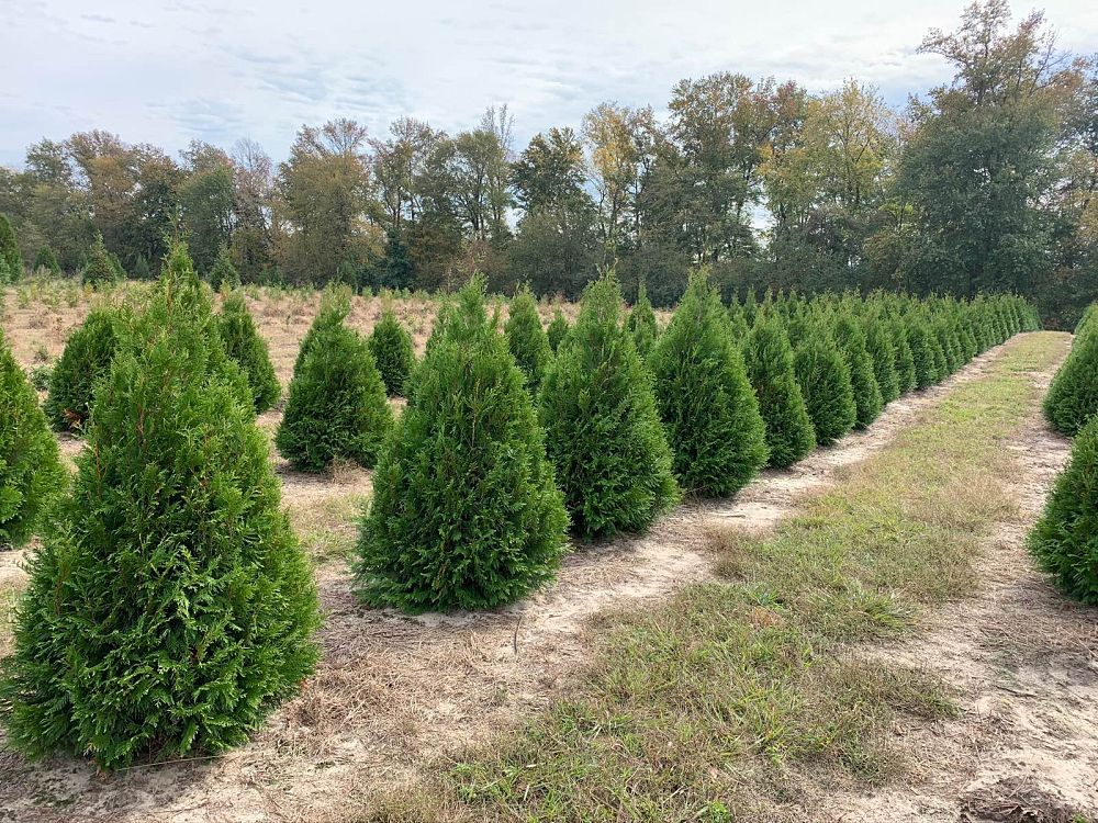 thuja-occidentalis-elegantissima-arborvitae-gold-tip-false-white-cedar