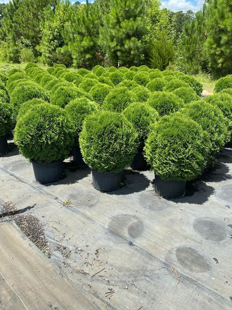 thuja-occidentalis-hetz-midget-arborvitae-false-white-cedar