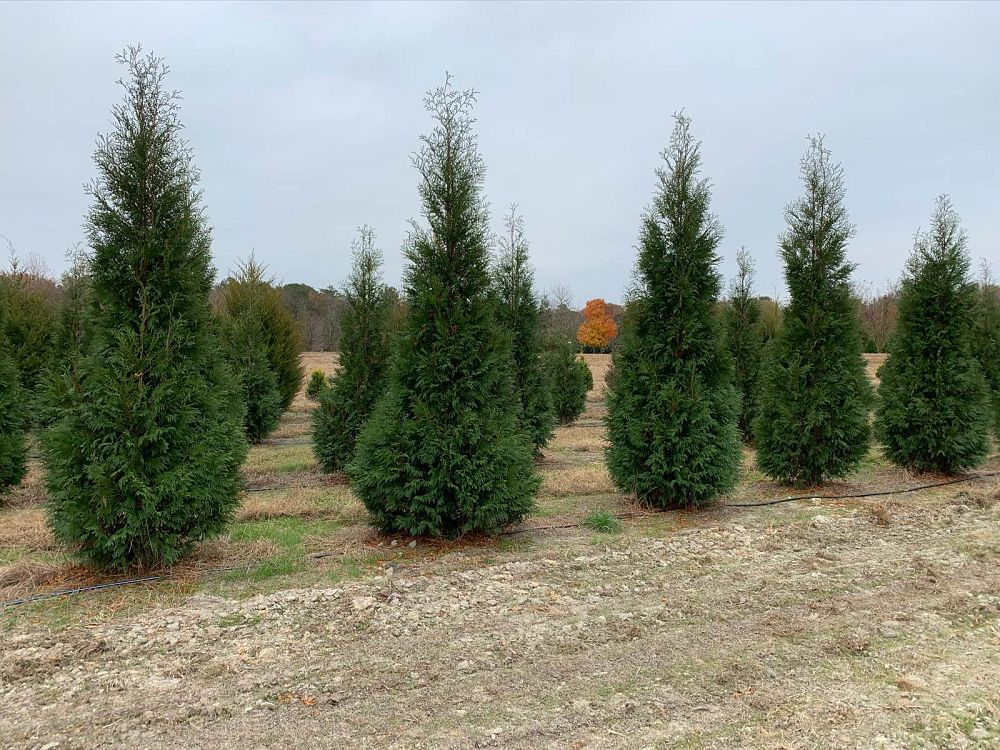thuja-occidentalis-hetz-wintergreen-arborvitae-false-white-cedar