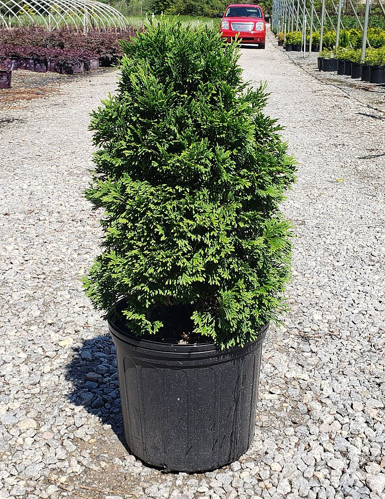thuja-occidentalis-holmstrup-arborvitae-false-white-cedar