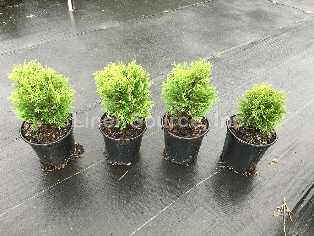 thuja-occidentalis-little-giant-arborvitae-false-white-cedar
