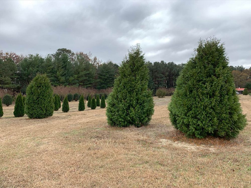 thuja-occidentalis-nigra-arborvitae-dark-american-false-white-cedar