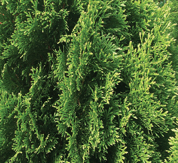 thuja-occidentalis-smaragd-arborvitae-emerald-green-false-white-cedar