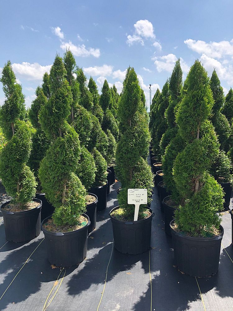 thuja-occidentalis-smaragd-topiary-spiral-arborvitae-emerald-green-false-white-cedar