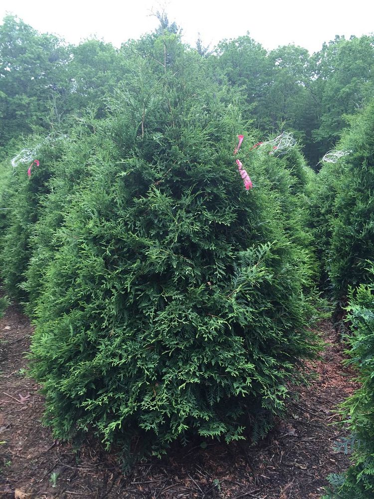 thuja-occidentalis-techny-arborvitae-false-white-cedar
