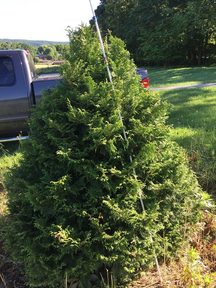 thuja-occidentalis-walter-brown-arborvitae-false-white-cedar