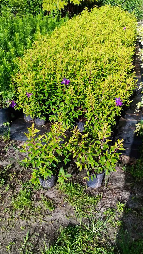 tibouchina-glory-bush