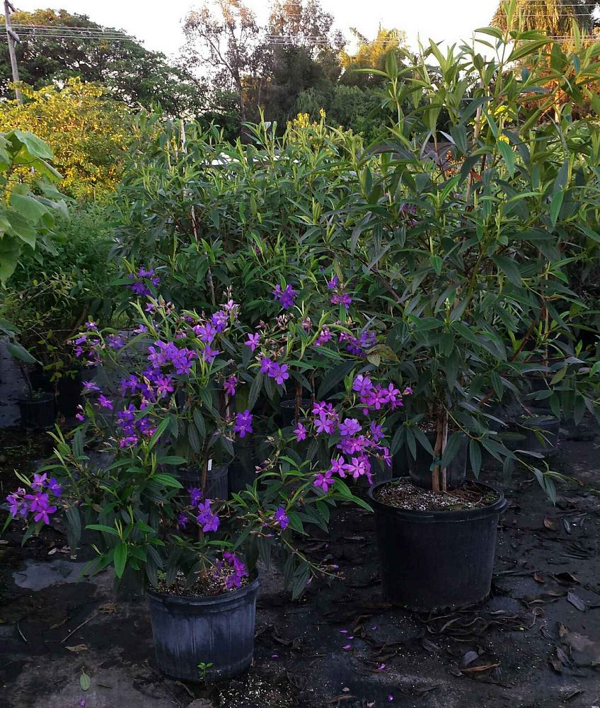 tibouchina-granulosa-purple-glory-tree
