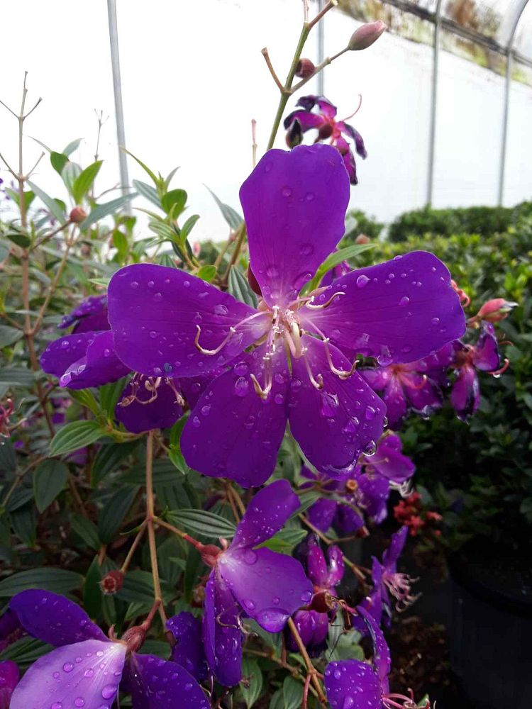 tibouchina-lepidota-glory-bush