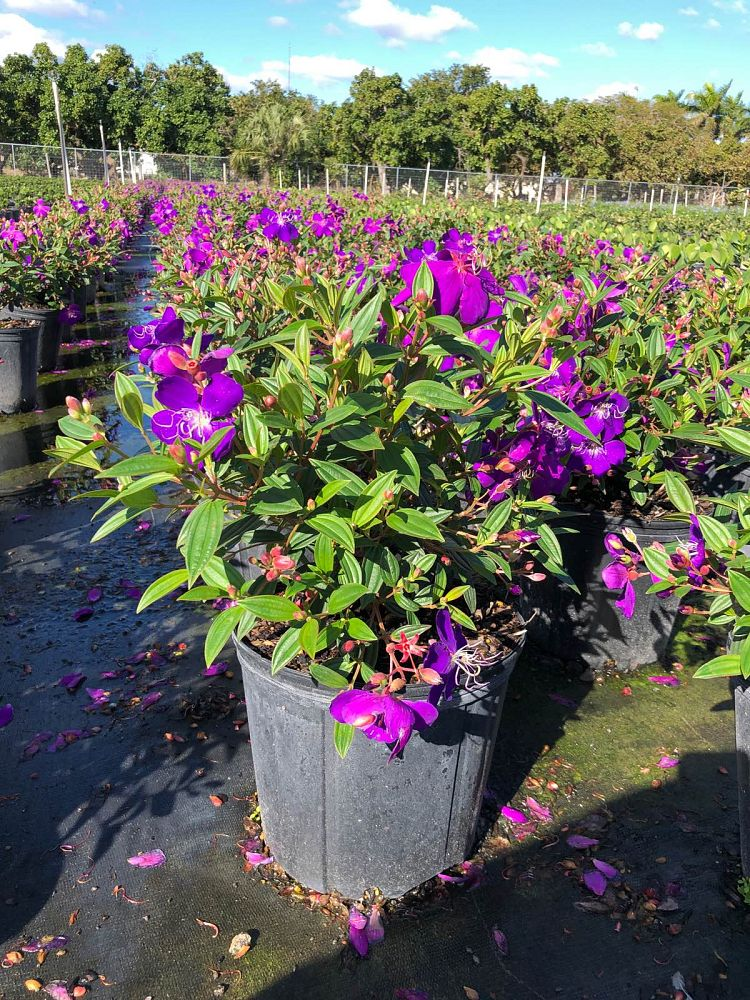 tibouchina-urvilleana-compacta-glory-bush-princess-flower-tibouchina-semidecandra