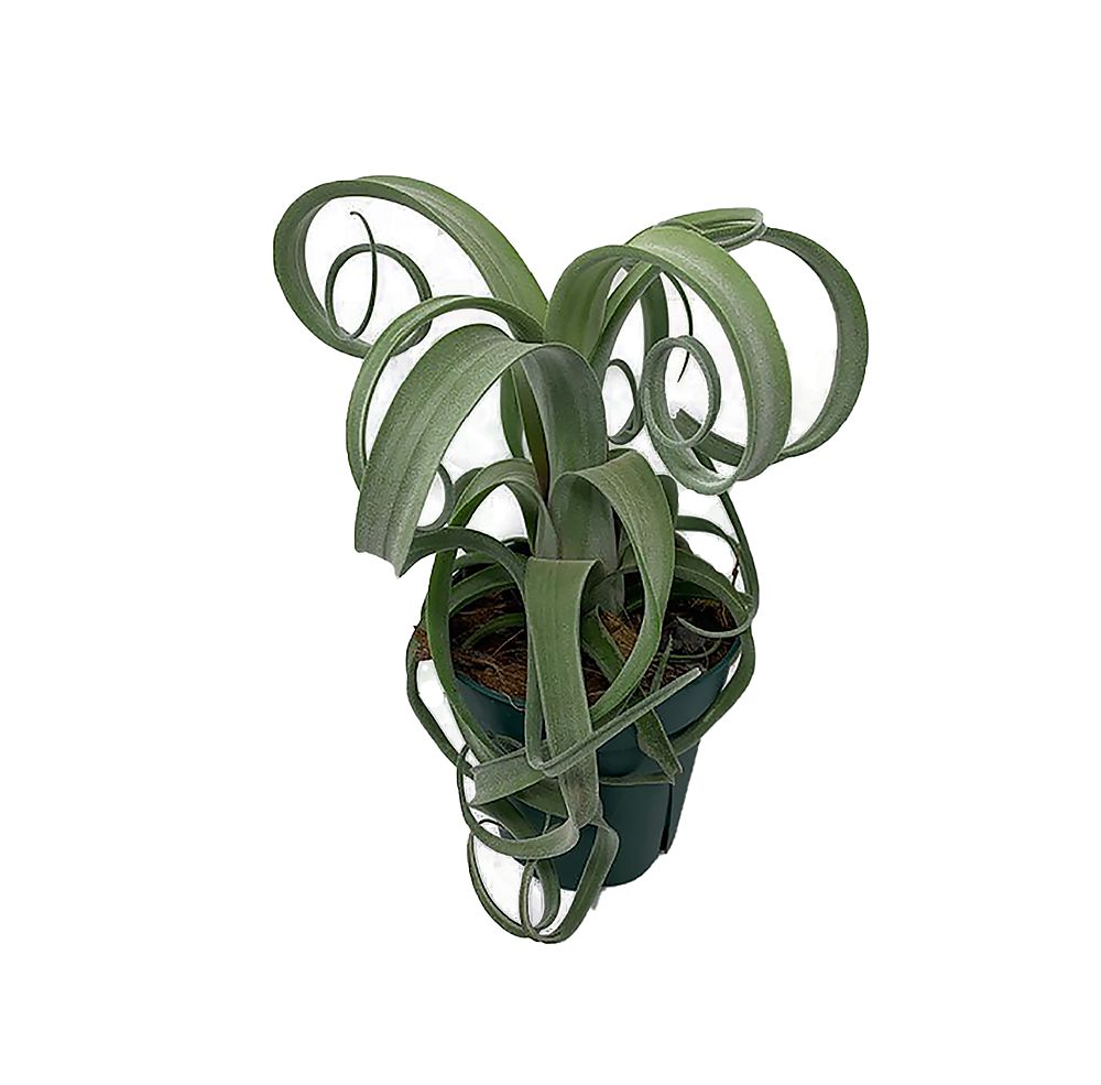 tillandsia-curly-slim-air-plant-bromeliad