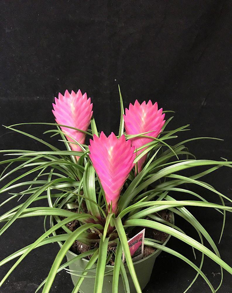 Tillandsia Cyanea Linden Ex K Koch: Locate & Find Wholesale Plants